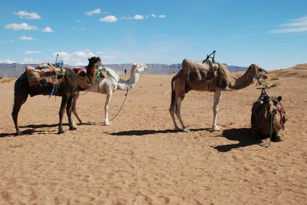 RALLYE OILIBYA du MAROC 2012 Caravane de chameaux photo AOCV