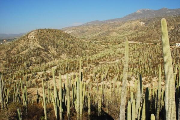 EL-GOLFO-2015-Au-MEXIQUE-de-Véritables-forêts-de-cactus