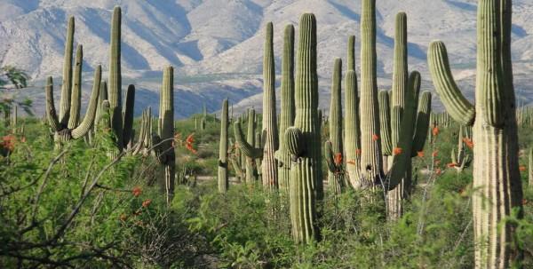 RALLYE-DEL-GOLFO-AL-PACIFICO-2015-et-ses-champs-de-Cactus-sur-le-bord-des-routes-MEXICAINES